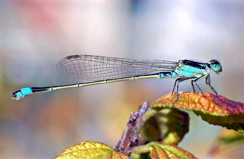 Swallowtail Damselfly Free Insect Stock Photos