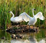 Free Photo - Trumpeter Swans