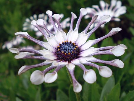 African Daisy - Free Stock Photo