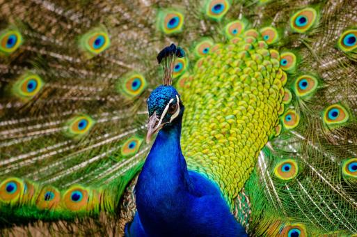 Beautiful Peacock - Free Stock Photo