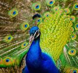 Free Photo - Beautiful Peacock