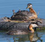 Free Photo - Red Necked Grebes
