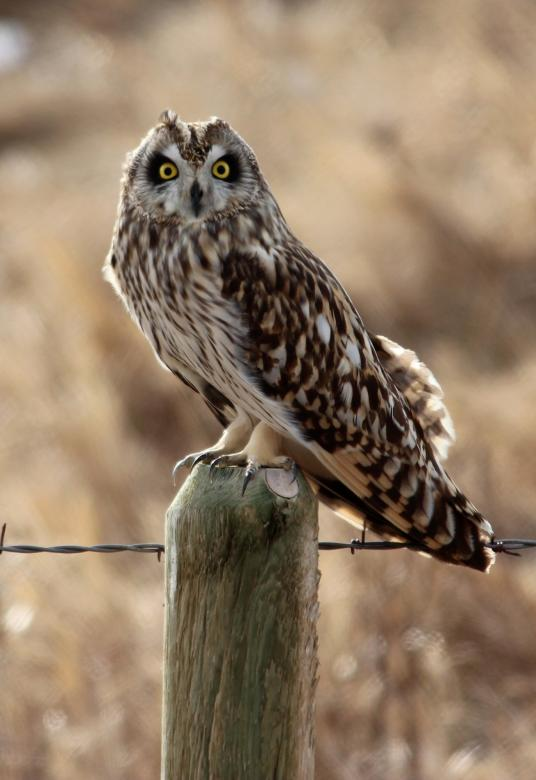 Free Stock Photo of Short Eared Owl Created by Pixabay