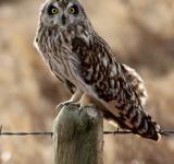 Free Photo - Short Eared Owl
