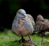 Free Photo - Zebra Dove