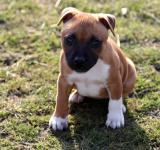 Free Photo - Stafford-shire Bull-terrier Puppy