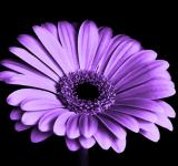 Free Photo - Purple Gerbera Flower