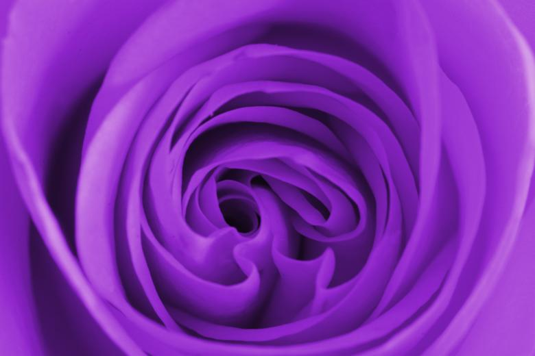 Free Stock Photo of Purple Rose Centre Created by Anthony Poynton