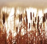 Free Photo - Cattails In The Mist