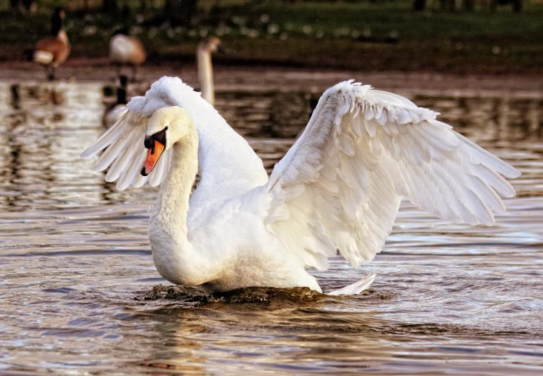 Free Stock Photo of Swan in the Water Created by Anthony Poynton