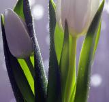 Free Photo - White Tulips