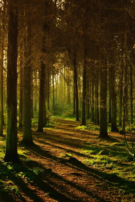 Pine Forest - Free Spooky Stock Photos