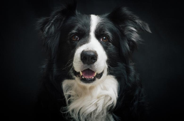 Free Stock Photo of Border Collie Created by Pixabay