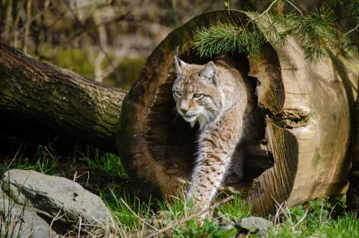 Lynx in the Jungle - Free Stock Photo