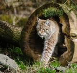 Free Photo - Lynx in the Jungle