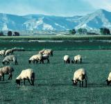 Free Photo - Mountain Sheeps