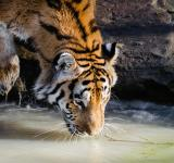Free Photo - Tiger Drinking Water