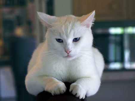 White Cat - Free Stock Photo