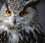 Free Photo - Eagle Owl