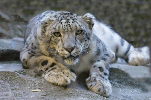 Snow Leopard - Free Stock Photo