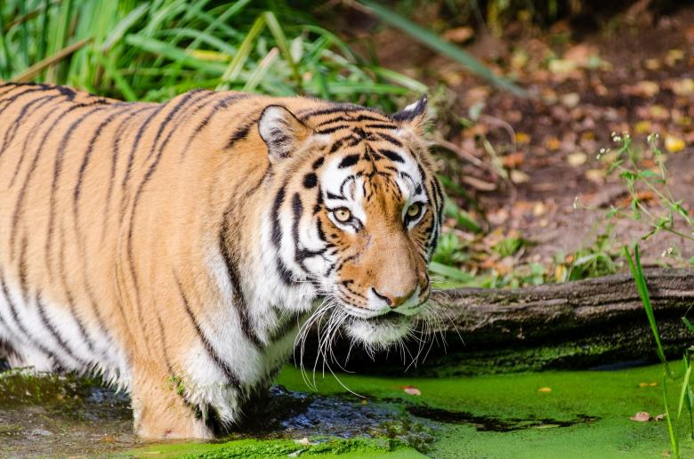 Free Stock Photo of Bengal Tiger Created by Pixabay