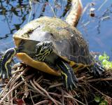 Free Photo - Red Bellied Turtle