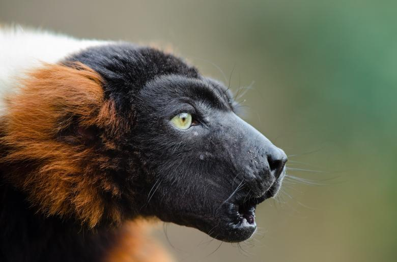 Free Stock Photo of Red Ruffed Lemur Created by Pixabay