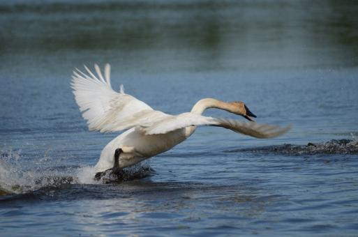 Trumpeter Swan in the River - Free Stock Photo