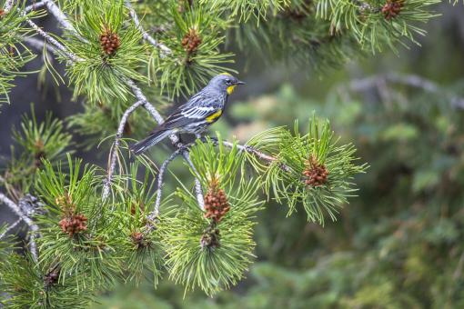 Yellow Rumped Warbler - Free Stock Photo