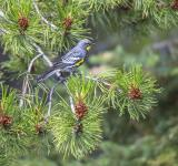 Free Photo - Yellow Rumped Warbler