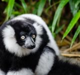Free Photo - Black and White Ruffed Lemur