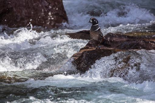 Harlequin Duck - Free Stock Photo