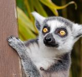 Free Photo - Wild Lemur