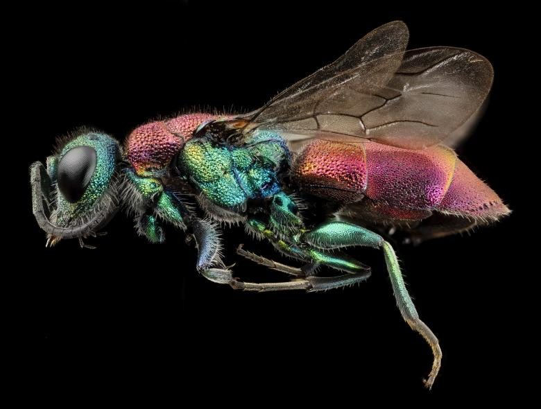 Rubytail Wasp Free Insect Stock Photos