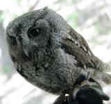 Free Photo - Screech Owl
