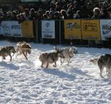 Free Photo - Sled Dogs