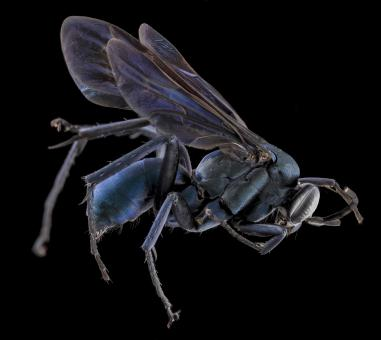 Spider Wasp - Free Stock Photo