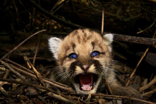 Baby Cougar - Free Stock Photo