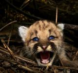 Free Photo - Baby Cougar