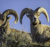 Free Photo - Big Horn Rams
