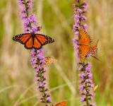 Free Photo - Butterflies on the Flowers