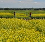 Free Photo - Canola Field