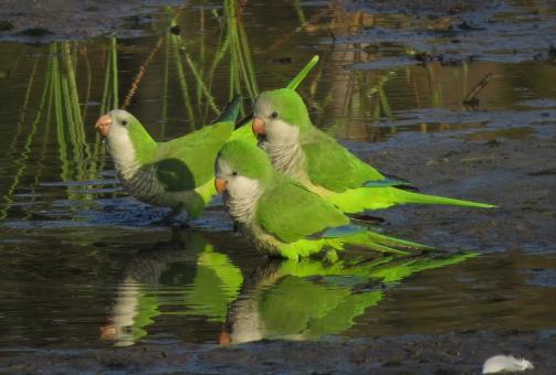 Monk Parakeets - Free Stock Photo