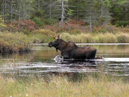 Moose in the River - Free Stock Photo