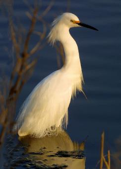 Snowy Egret - Free Stock Photo
