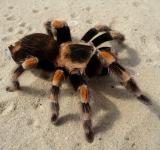 Free Photo - Wild Tarantula