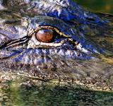 Free Photo - Alligator Eye