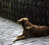 Free Photo - Brown Dog