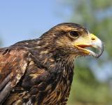 Free Photo - Golden Eagle