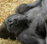Free Photo - Gorilla in the Zoo